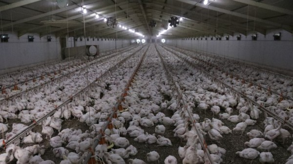 Chickens are seen at a poultry farm at Hartbeesfontein, a settlement near Klerksdorp, in the North West province