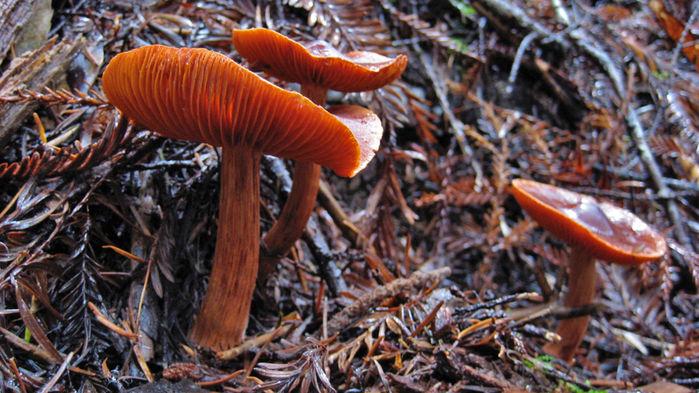 Ectomycorrhizal mushroom Dermocybe-1280x720